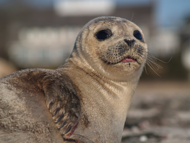 Hepatitis A type Virus Found In Seals May Help in Understanding Human Hep A