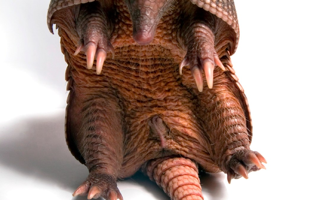 Armadillos in Research: What's the Scoop?