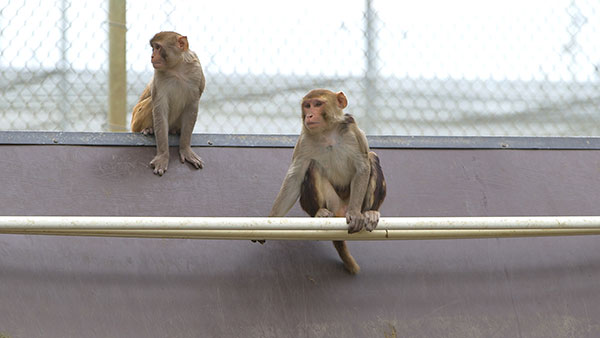 Brain Study with Monkeys Paves Way for Paralysis Treatment