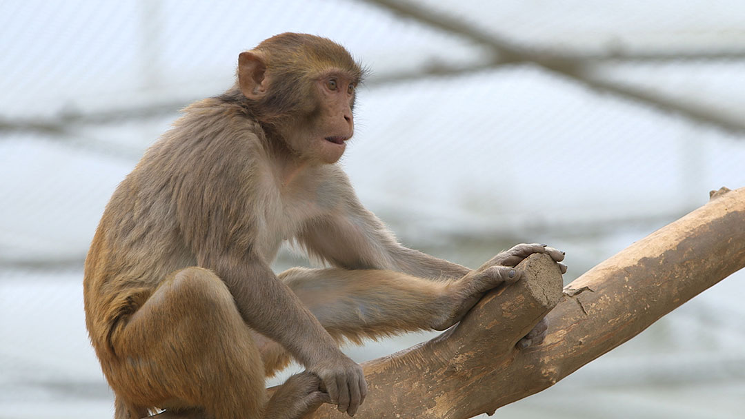 No Monkeying Around With An HIV Vaccine