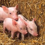 Piglets in research