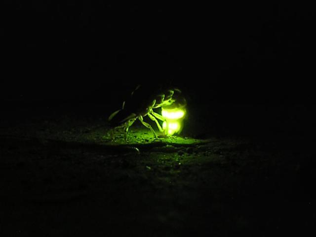 Işık yayan ateş böceği