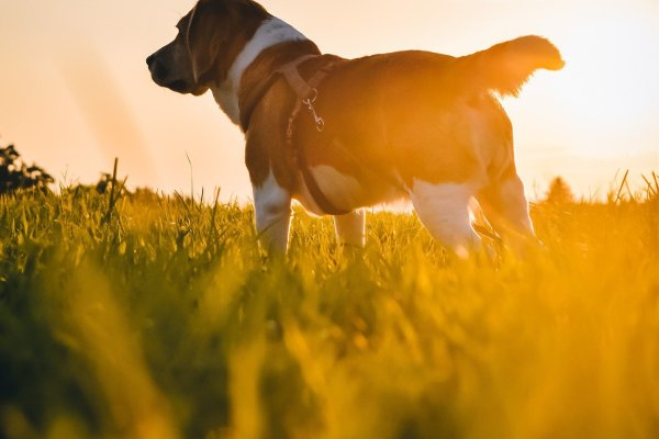 A brown and white dog stands in the middle of a field. The green blades of grass are illuminated golden by the setting sun. The dog wears a brown leather harness. Image by niklasfotografics from Pixabay.