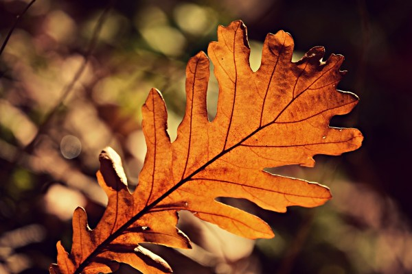 A single orange-brown oak leaf fills the frame. The sun is shining through it, illuminating the veins within the leaf. The background of the leaf is not in focus, but is also lit up by the sun. Image via Pixabay.
