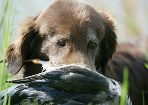 Flat-Coated Retriever with a duck in his mouth.
