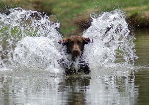 Liver colored Flat-coated Retriever splashing in the water.