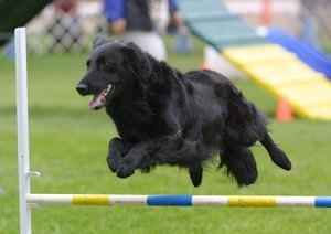 Flat-Coat jumping in agility.