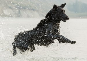 Flat-Coated Retriever jumping in the water.