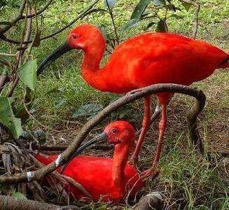 COISAS DO MARANHÃO: Polo Ecoturístico Floresta dos Guarás
