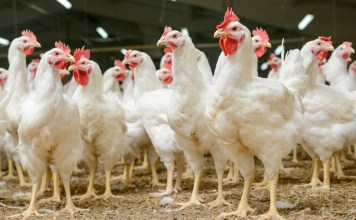 British poultry industry launches new apprenticeship standard