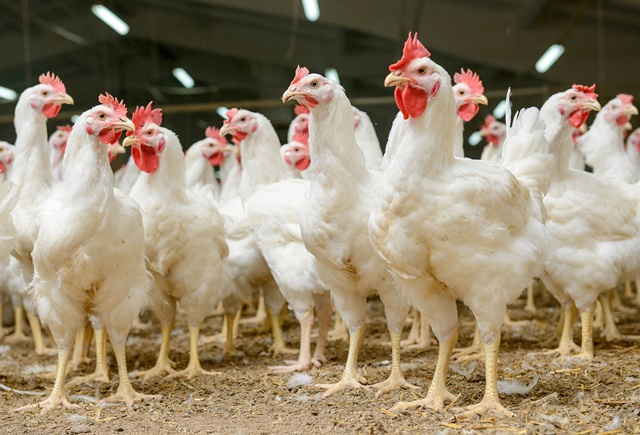 Fast food giants found wanting on chicken welfare