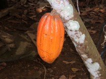 Ripe cacao bean, the raw ingredient for fine chocolate