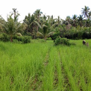 Network of surrounding rice fields by the Basey Farmers Cooperative