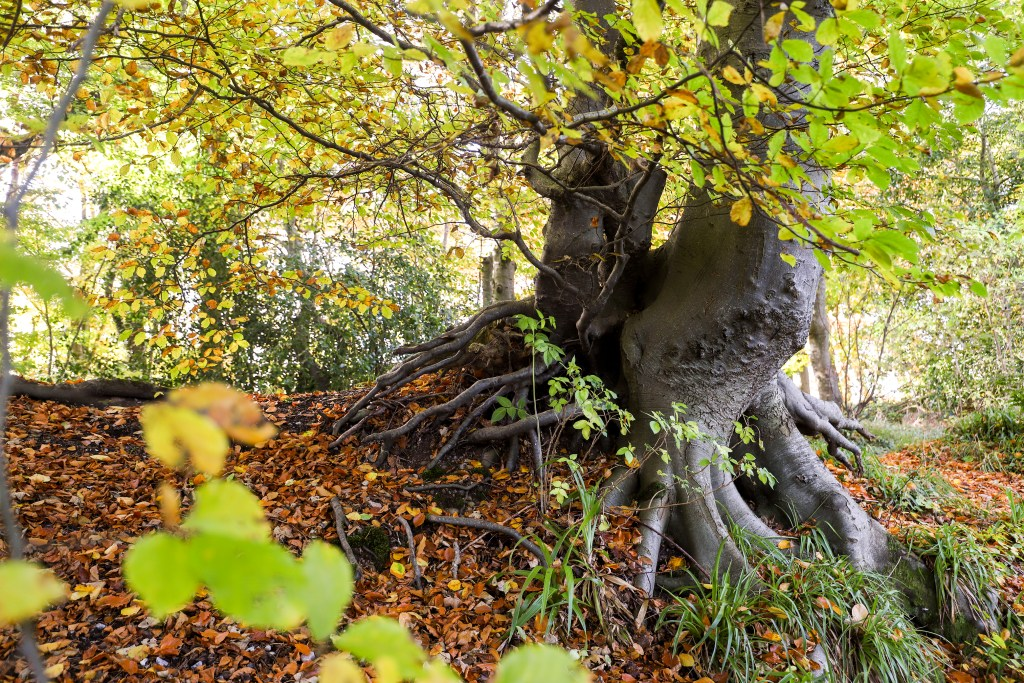 "The ""dragon tree"" in autumn."