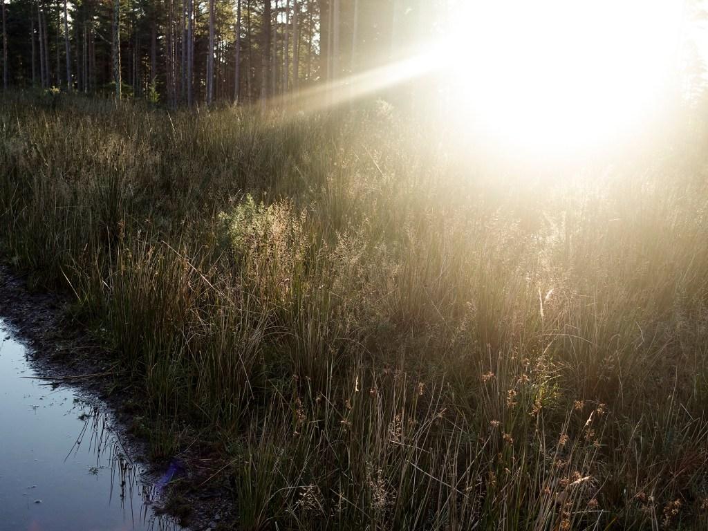 Sunlight Forest Grasses