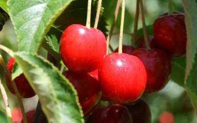 Cherry Season