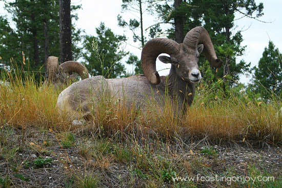 Front View of Big Horn Sheep