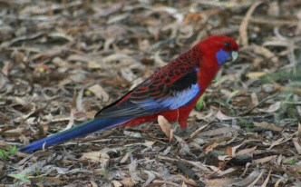 Australia Rosella
