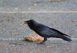 Australian raven eating chips