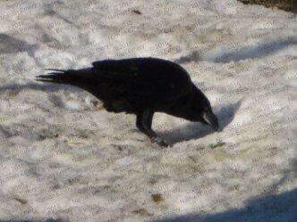 Raven Caching Panel F