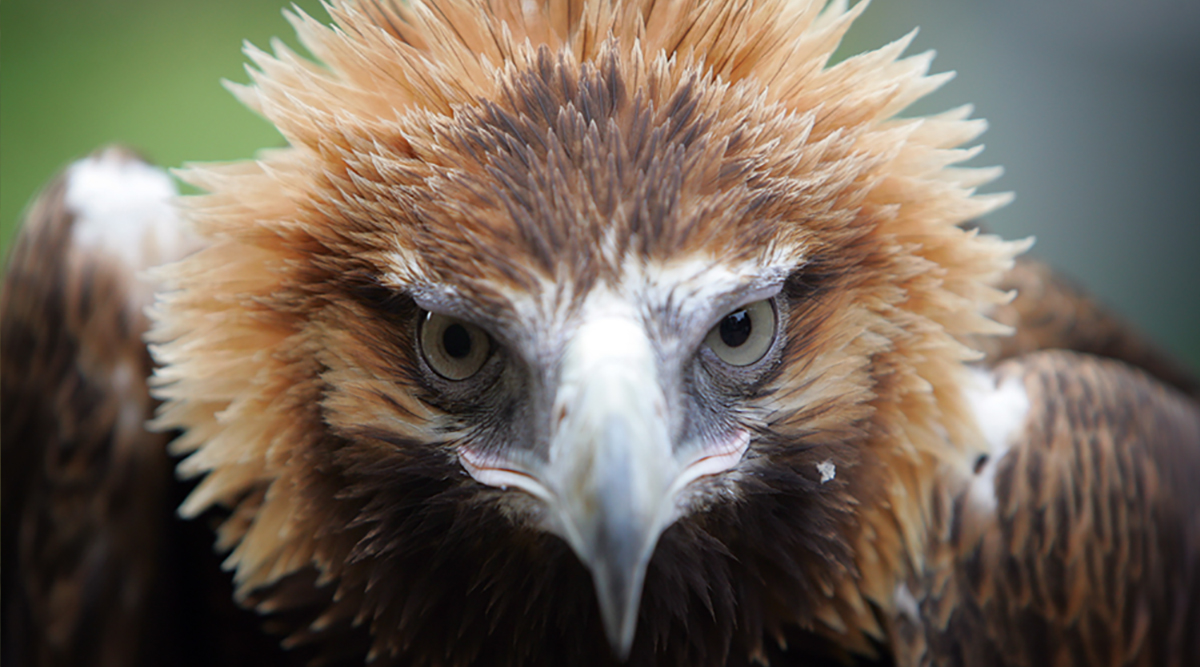 Feathered Friends Wedge-tailed Eagle