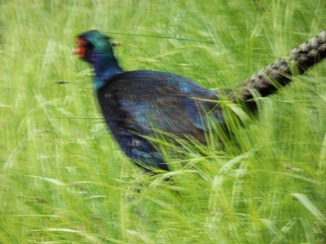 blue pheasant creswell