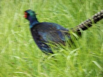 blue pheasant creswell