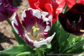 close up of striped purple and white tulip