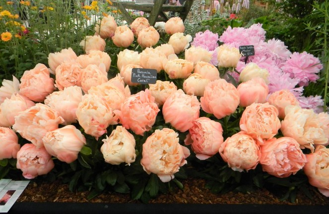 Pink Hawaiian Coral Peony, 2018 Chelsea Flower Show --Why The Chelsea Flower Show Should Be On Your Bucket List