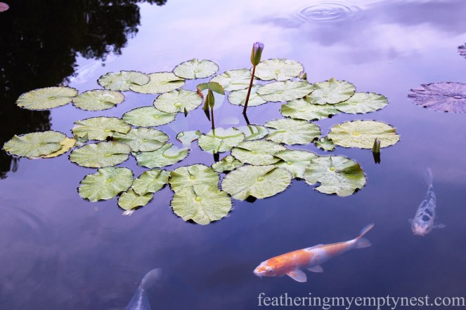 Water lilies and Koi fish in the Italian Garden pools --Chihuly At Night At The Biltmore
