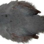 Blue Eared Pheasant