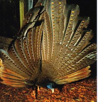 Argus Pheasant