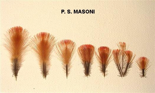 Luc_Plate_masoni