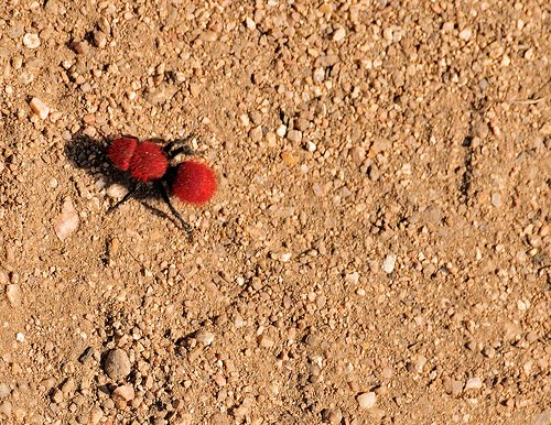 Big Red Ant Isolated On White Background Photo By Vladvitek