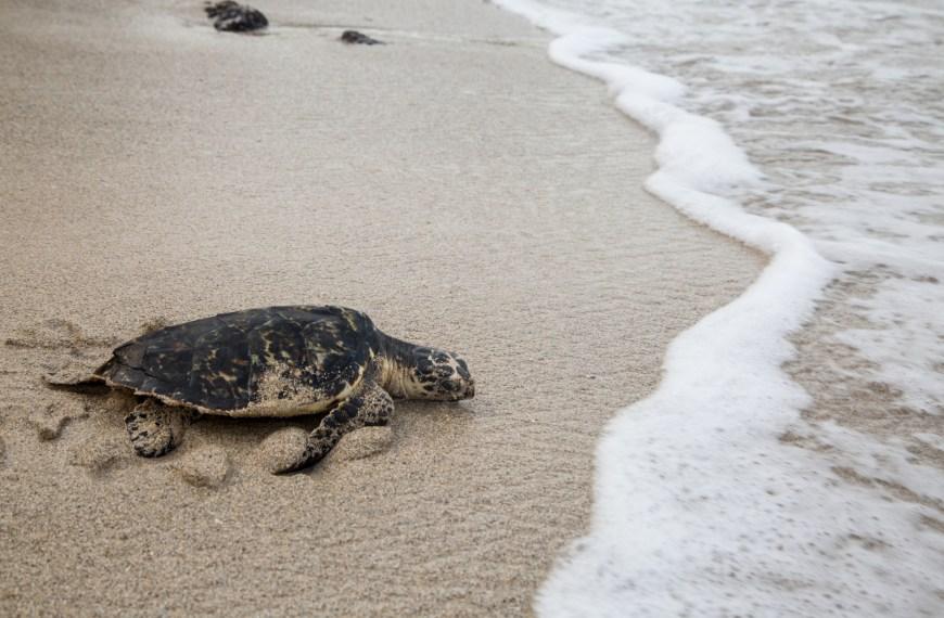 Tortugas marinas, otras viajeras de la isla