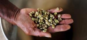 Cultura caffetera en Salamina