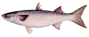 "Striped ""pop-eyed"" mullet"