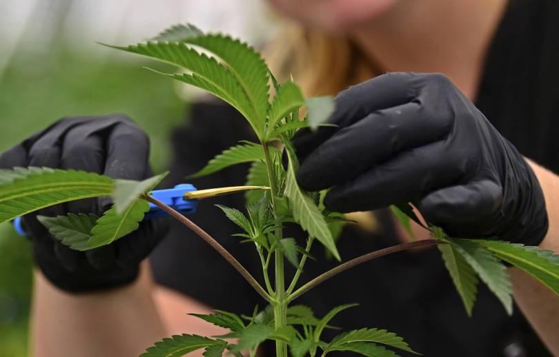Medical Marijuana Missouri 13545 - Missouri voters must decide on 3 medical marijuana plans