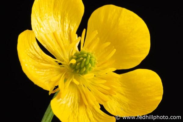 Fine art photograph of a yellow flower. Flower is named Ranunculus bulbosus or bulbous buttercup.