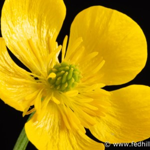 Fine art photograph of a yellow flower. Flower is named Ranunculus bulbosus or bulbous buttercup.