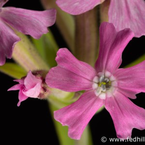 Fine art photograph of pink flowers. Flowers are named 'Short and sweet', a cultivar of Silene caroliniana.