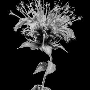 Black and white fine art photo of a flower. Flower is named wild bergamot or bee balm or Monarda fistulosa.