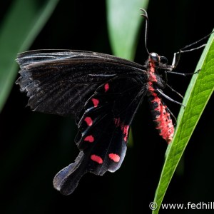 Fine art photo of the insect Pachliopta kotzebuea, or pink rose butterfly, at Brookside Gardens Conservatory.