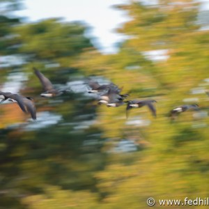 Fine art photo showing motion blur of geese flying through Fort Smallwood State Park in Pasadena, Maryland in autumn.
