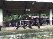 Shahani Gatas Kalabaw Farm