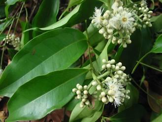 Syzygiumnitidum1.jpg