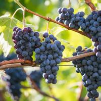 Kaltern Weinrebe Weintrauben