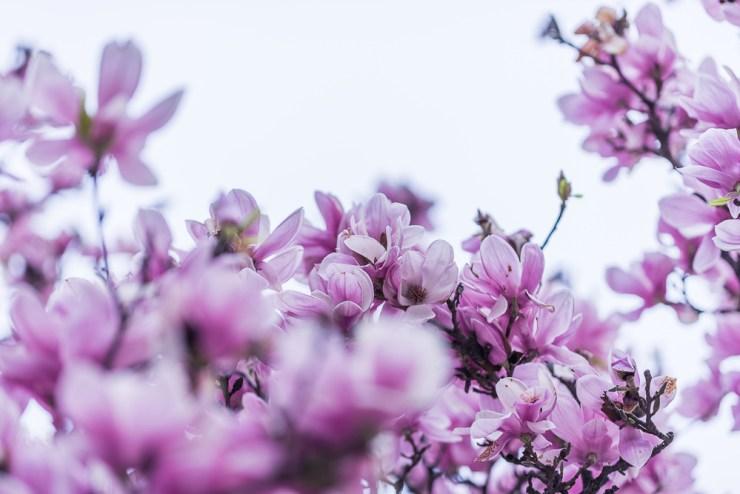 Magnolien Foto: Christopher Jolly