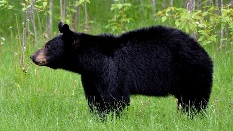 Black Bears Can Count