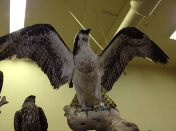 A majestically displayed bird.